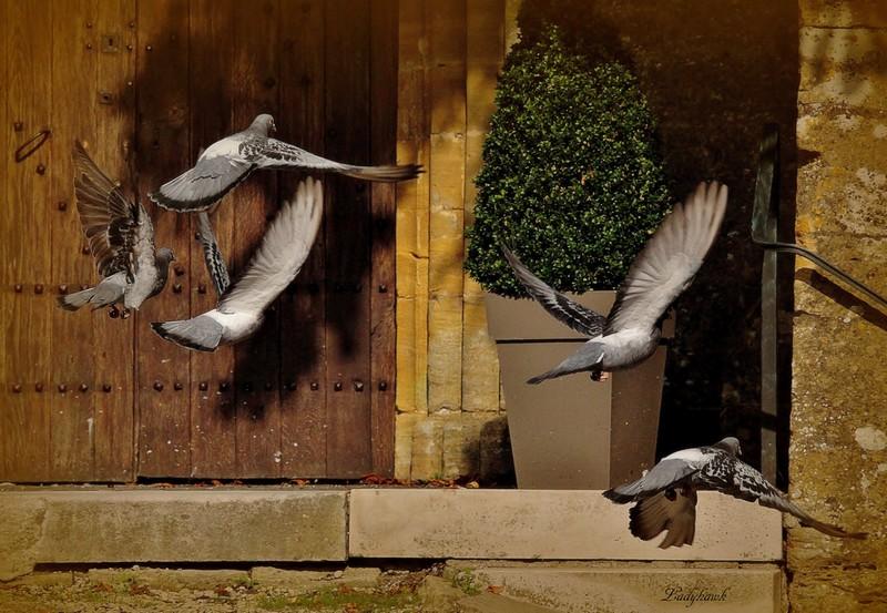 les pigeons de l'église Img_7511