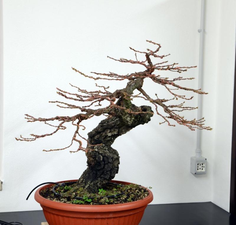 Quercus cerris - Pagina 6 Fronte10