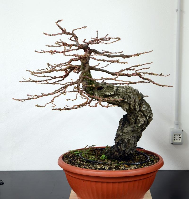 Quercus cerris - Pagina 6 Lato-d10