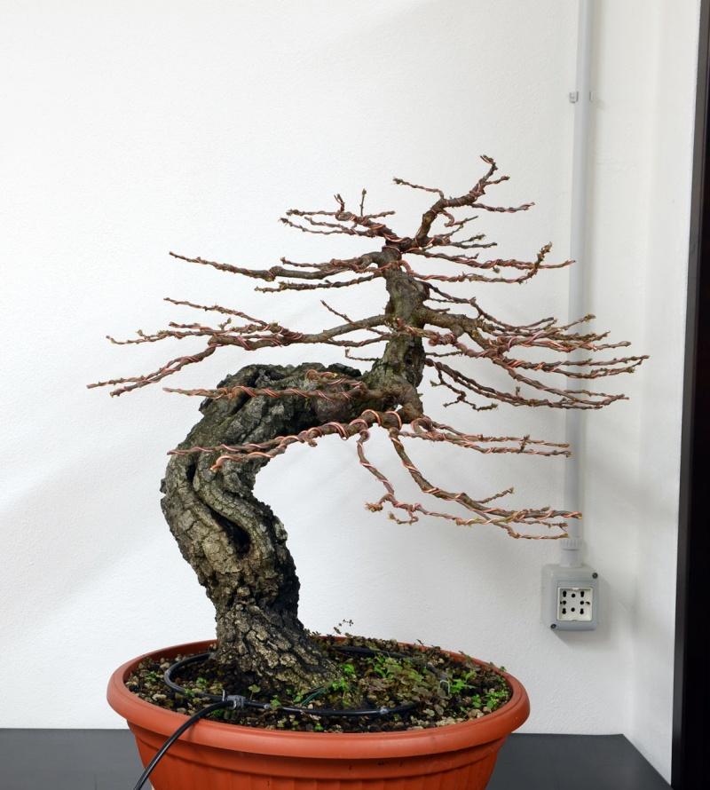 Quercus cerris - Pagina 6 Lato-s10