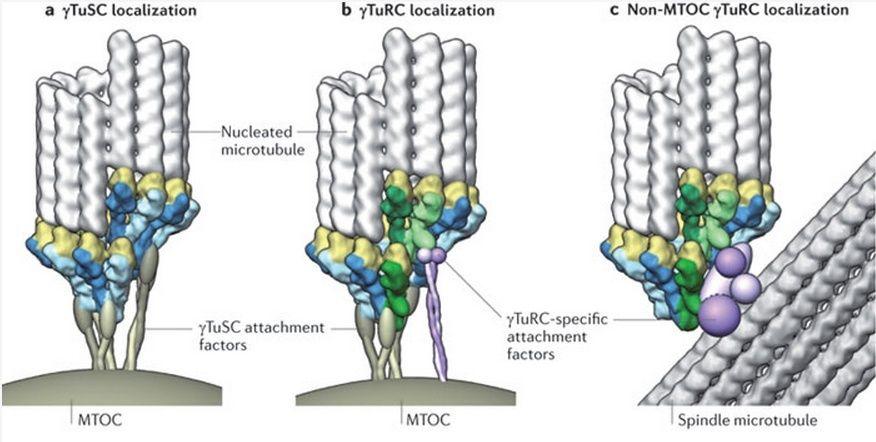 The astonishing  language written on microtubules, amazing evidence of  design -tubul11