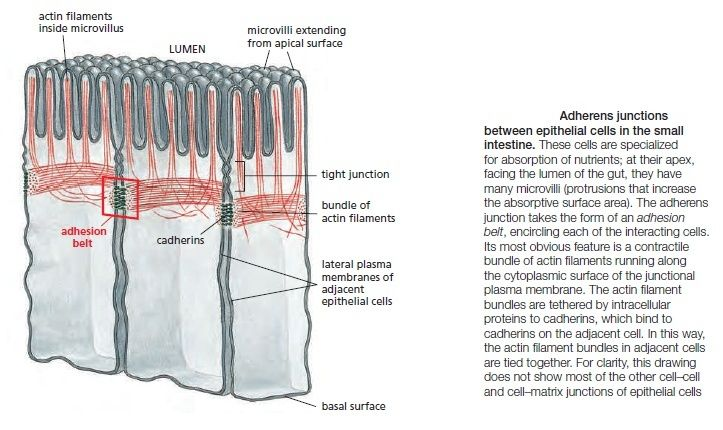 Cell Junctions and the Extracellular Matrix Adhere10