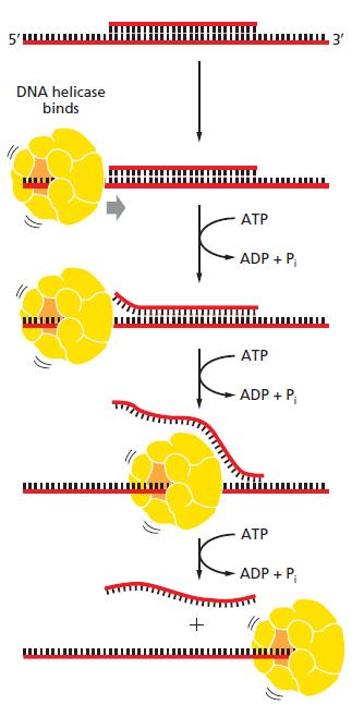 DNA replication of prokaryotes An_ass10