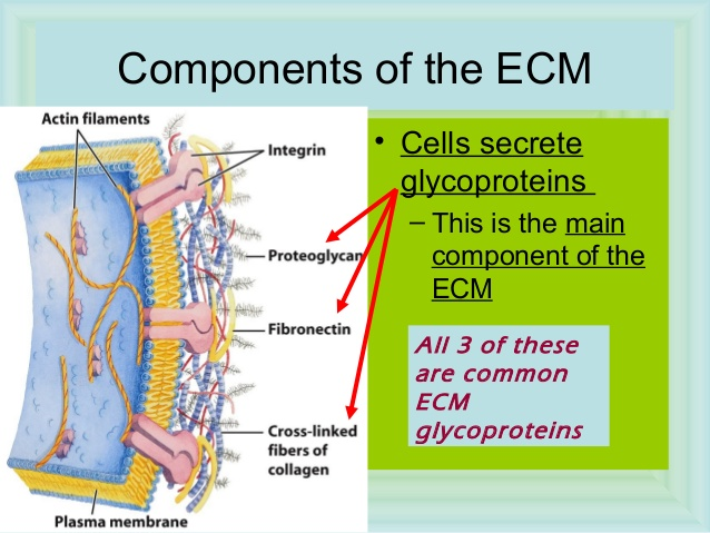 Cell Junctions and the Extracellular Matrix Ap-bio10