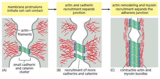Cell Junctions and the Extracellular Matrix Assemb10