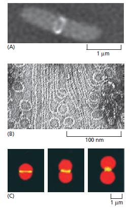 Microfilaments Bacter10