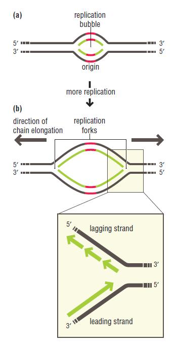 DNA replication of prokaryotes Bidire10
