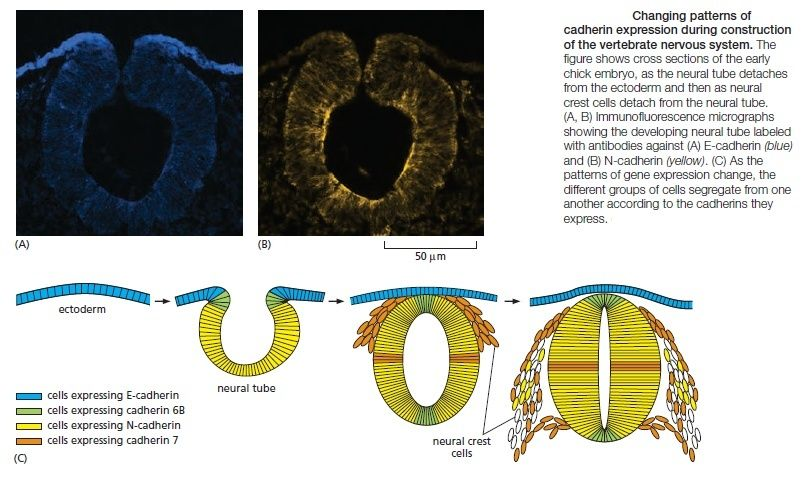 Cell Junctions and the Extracellular Matrix Cadher10