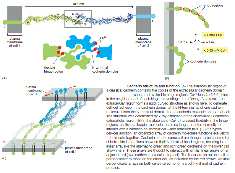 Cell Junctions and the Extracellular Matrix Cadher12