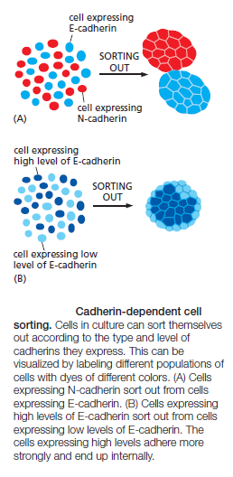 Cell Junctions and the Extracellular Matrix Cadher13
