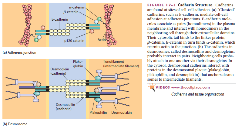 Cell Junctions and the Extracellular Matrix Cadher14