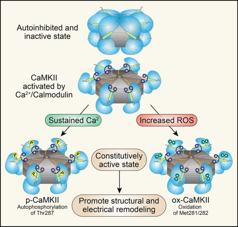 Cell Communication and signaling, evidence of design Calmod10