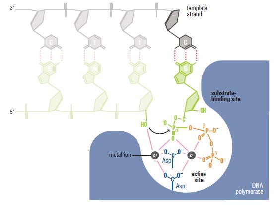 DNA replication of prokaryotes Cataly10