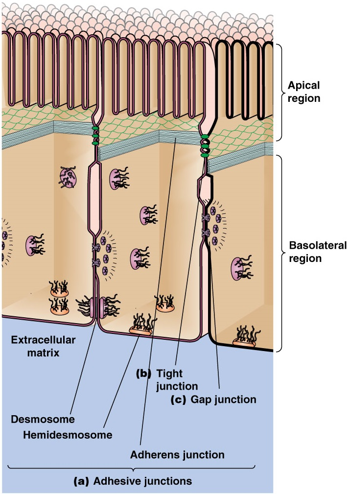 Unicellular and multicellular Organisms are best explained through design Cell_j10