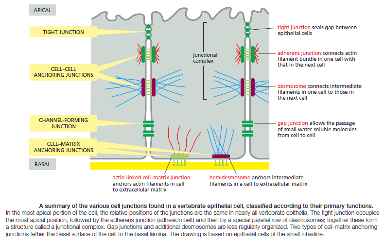 Cell Junctions and the Extracellular Matrix Cell_j10
