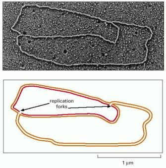 DNA replication of prokaryotes Ch5f610