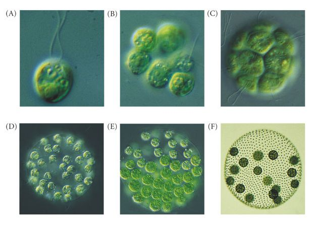 Unicellular and multicellular Organisms are best explained through design Chlamy10