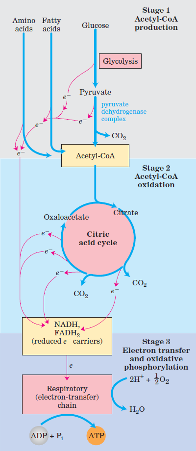 The Citric acid cycle, or Krebs (TCA) cycle Citric10