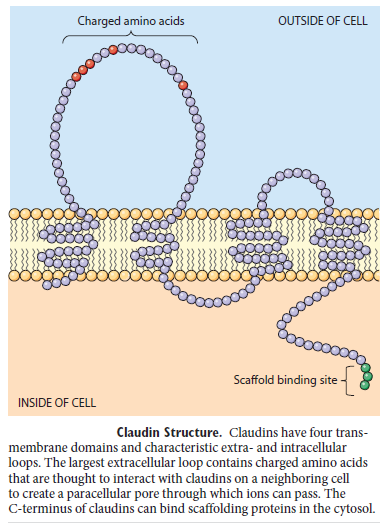 Cell Junctions and the Extracellular Matrix Claudi10