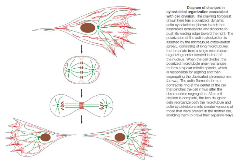 Microfilaments Cytosk10