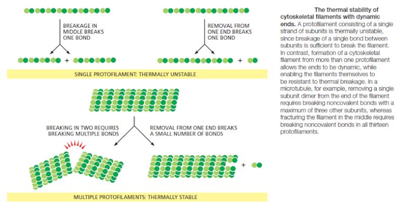 Microfilaments Cytosk12