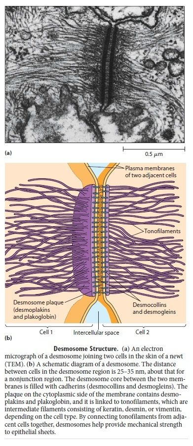 Cell Junctions and the Extracellular Matrix Desmos11