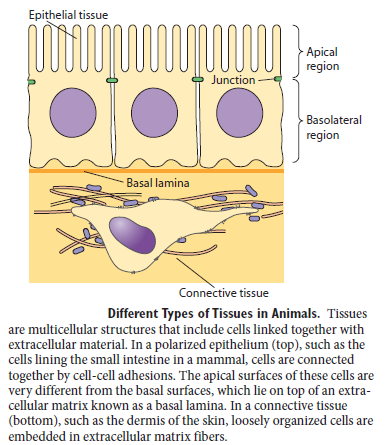 Cell Junctions and the Extracellular Matrix Differ10