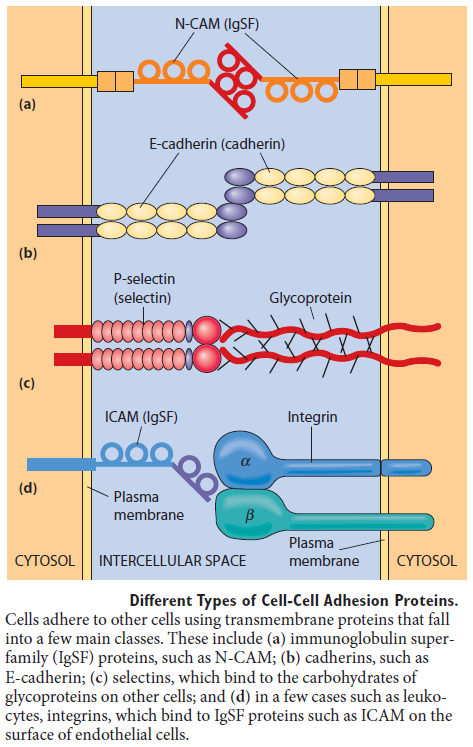 Cell Junctions and the Extracellular Matrix Differ11