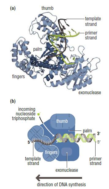 DNA replication of prokaryotes Dna_po10