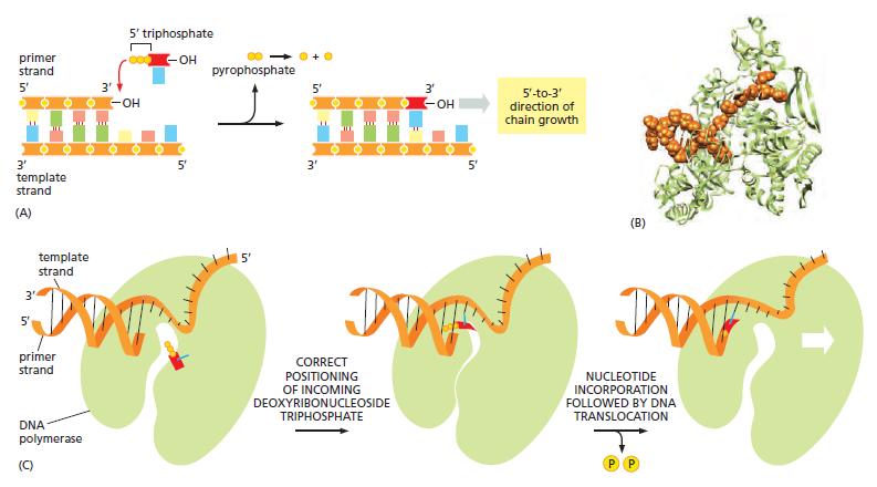 DNA replication of prokaryotes Dna_sy11