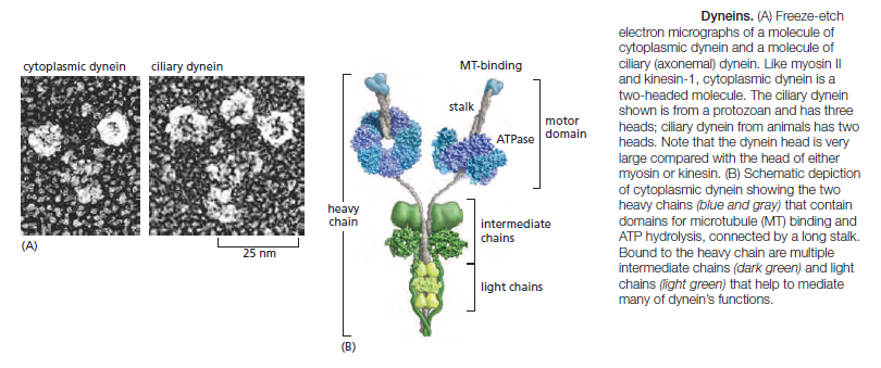 Kinesin and myosin motor proteins - amazing cargo carriers in the cell Dynein10