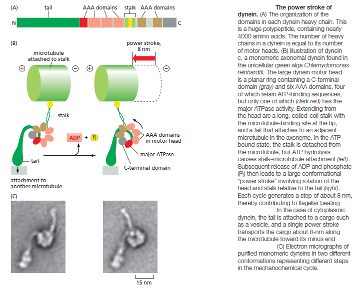 Kinesin and myosin motor proteins - amazing cargo carriers in the cell Dynein11