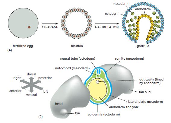Development of Multicellular Organisms Early_15