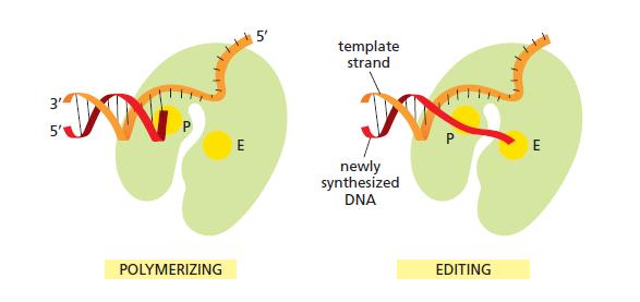 DNA replication of prokaryotes Editin10