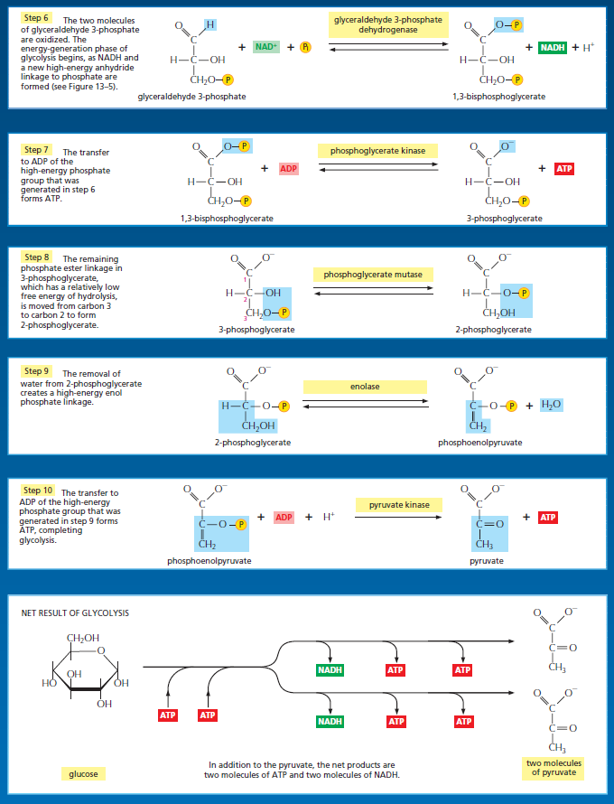 what is the net gain of atp from glycolysis