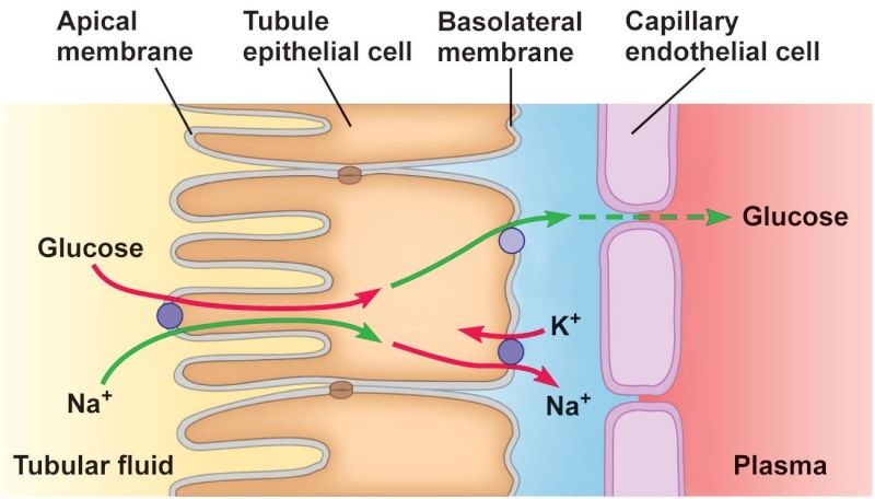 Cell Junctions and the Extracellular Matrix Figure11