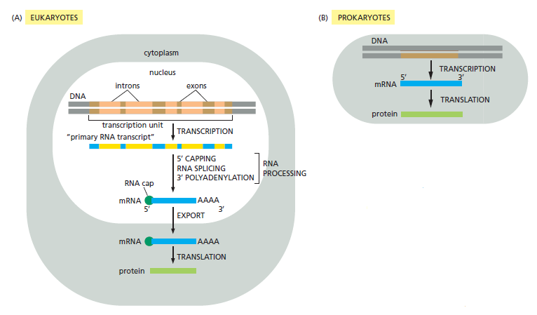 The spliceosome , the splicing code, and pre - mRNA processing in eukaryotic cells From_g10
