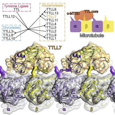 The astonishing  language written on microtubules, amazing evidence of  design Fx110