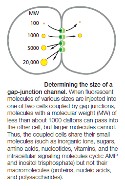 Cell Junctions and the Extracellular Matrix Gap_ju10