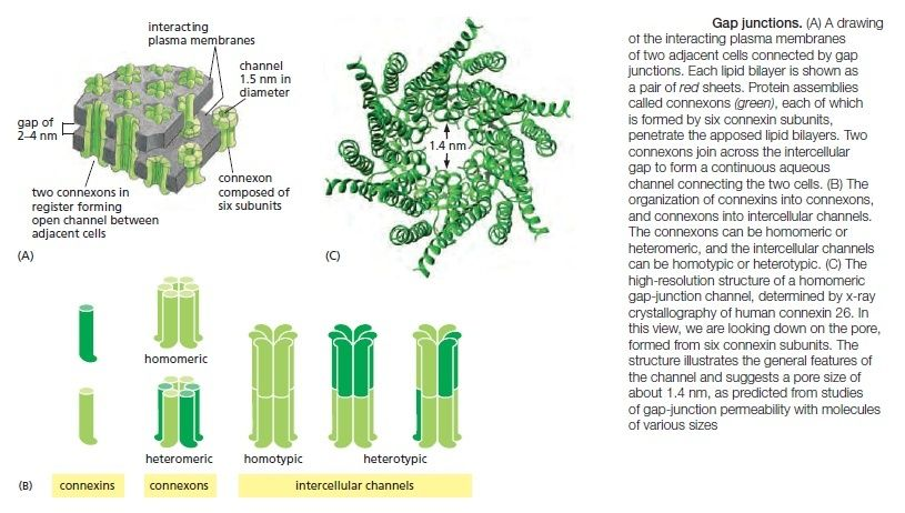 Cell Junctions and the Extracellular Matrix Gap_ju11