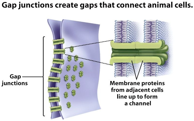 Cell Junctions and the Extracellular Matrix Gap_ju12
