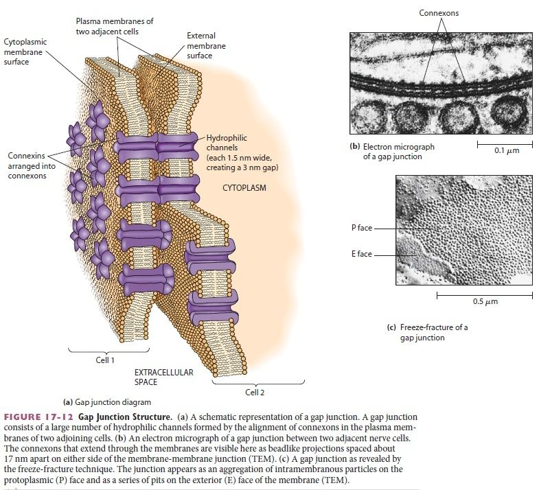 Cell Junctions and the Extracellular Matrix Gap_ju13