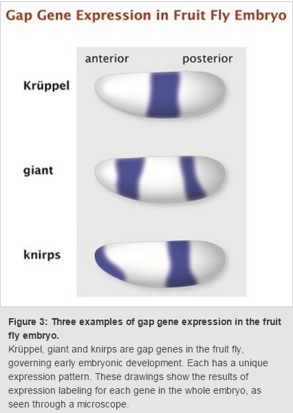 Control of Gene Expression, and gene regulatory networks  point to intelligent design Gene_e12