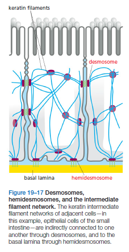 Cell Junctions and the Extracellular Matrix Hemide10
