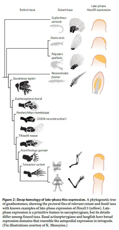 """"""" Tetrapods evolved """" . Really ?  Homolo10"""