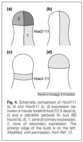 """ Tetrapods evolved "" . Really ?  Hox_d110"
