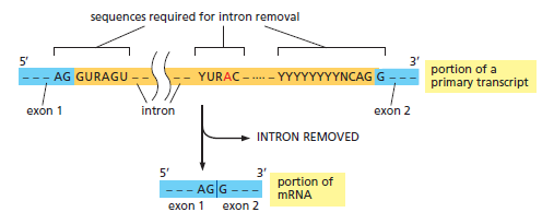 The spliceosome , the splicing code, and pre - mRNA processing in eukaryotic cells Intron11