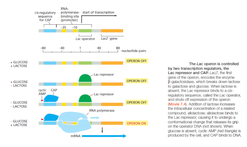 Control of Gene Expression, and gene regulatory networks  point to intelligent design Lac_op10
