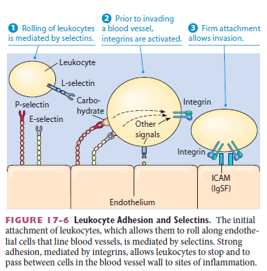 Cell Junctions and the Extracellular Matrix Leukoc10