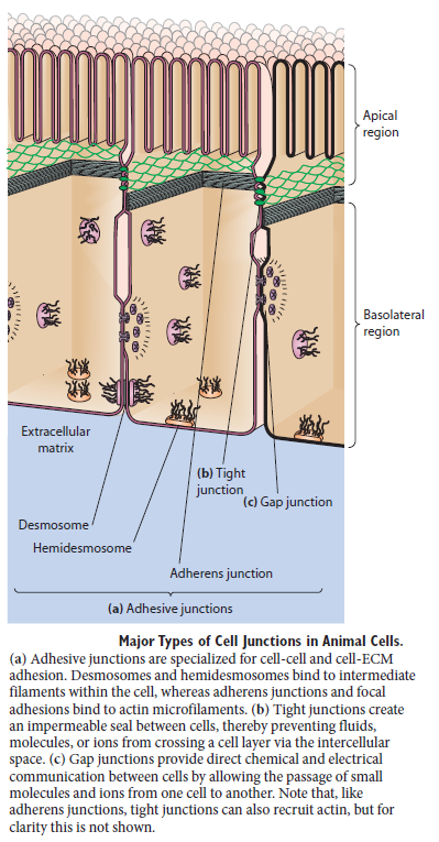 Cell Junctions and the Extracellular Matrix Major_10